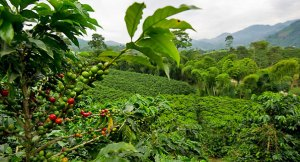 Picture of a coffee plantation at the Hacienda Villa Martha in the municipality of La Gloria, department of Risaralda, Colombia, taken on August 12, 2011. Colombia is recognized worldwide for its high quality coffee. AFP PHOTO/LUIS ACOSTA ---- MORE PICTURES IN IMAGE FORUM (Photo credit should read LUIS ACOSTA/AFP/Getty Images)